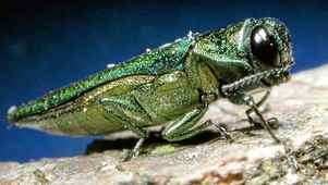 Insect experts are telling people in not to bother treating their ash trees for the destructive insect called the emerald ash borer.