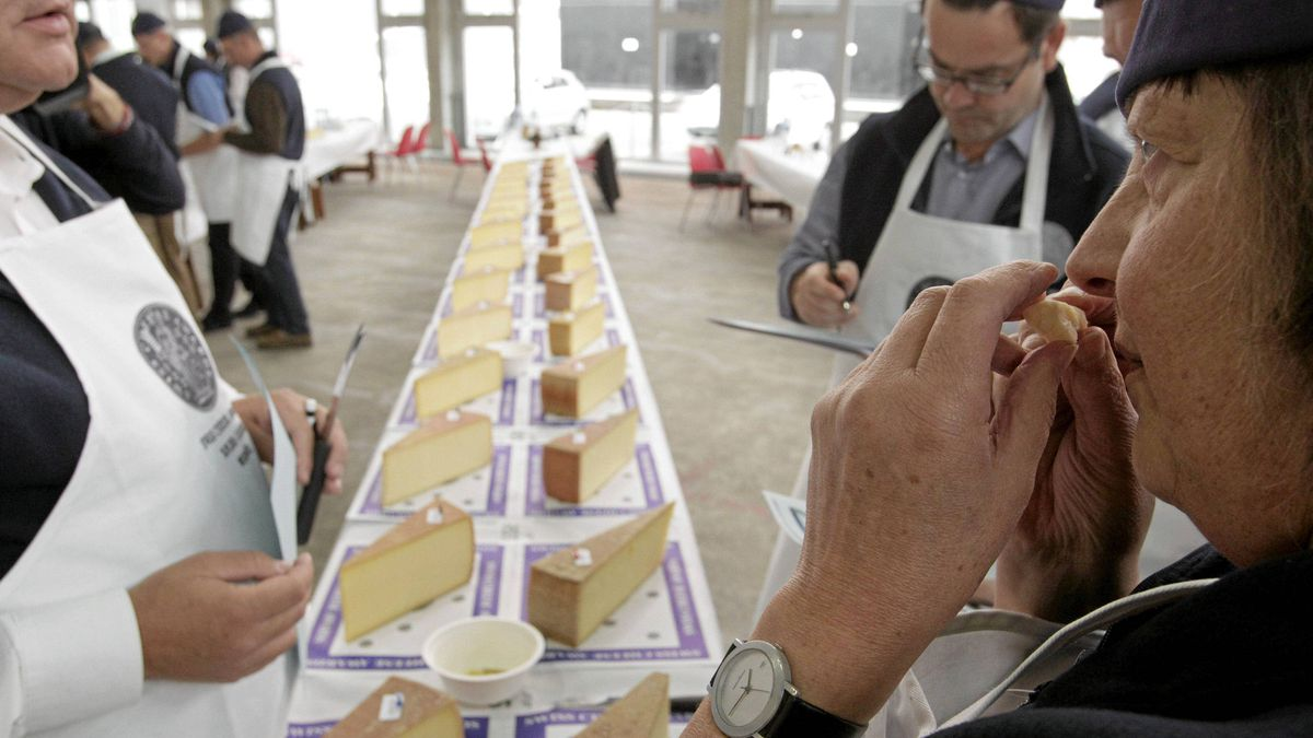 A cheese judge smells a slice of gruyere.
