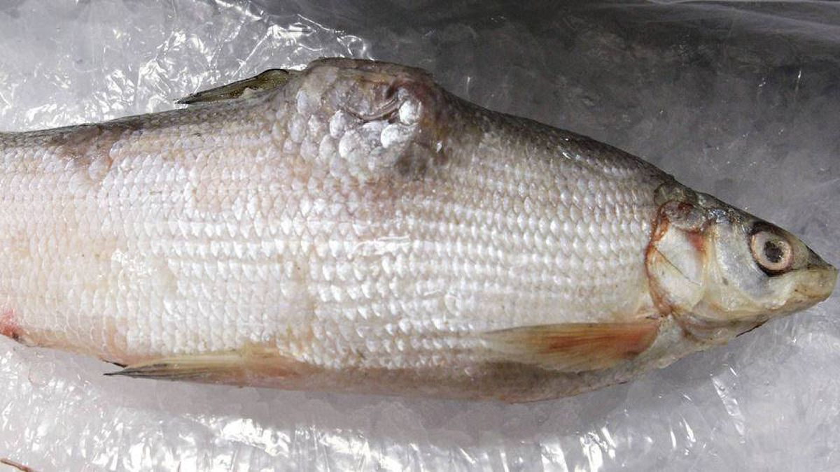 A deformed white fish, caught in Lake Athabasca near Fort Chipewyan, is on display during a press conference in Edmonton, Alta., on Thursday, September 16, 2010. The National Pollutant Release Inventory shows that the oil sands industry is releasing large pollutants and deleterious substances have been deposited in the water.