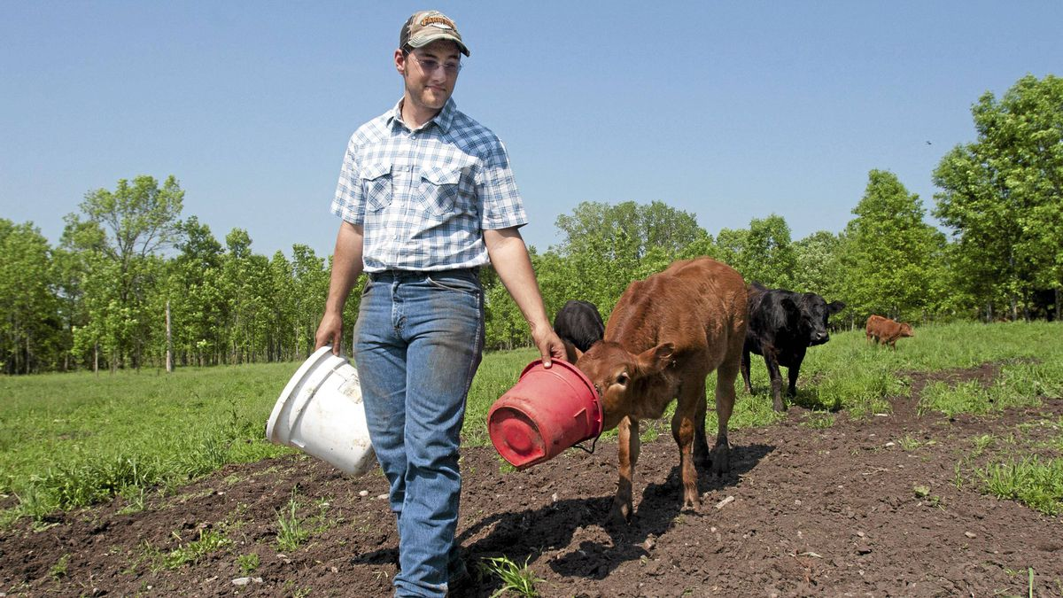 Matt Rabbie of Sunset farm in Prince Edward County give his cattle some feed on his family farm on May 31, 2011. Rabbies cattle has been vaccinated against the e-colie.