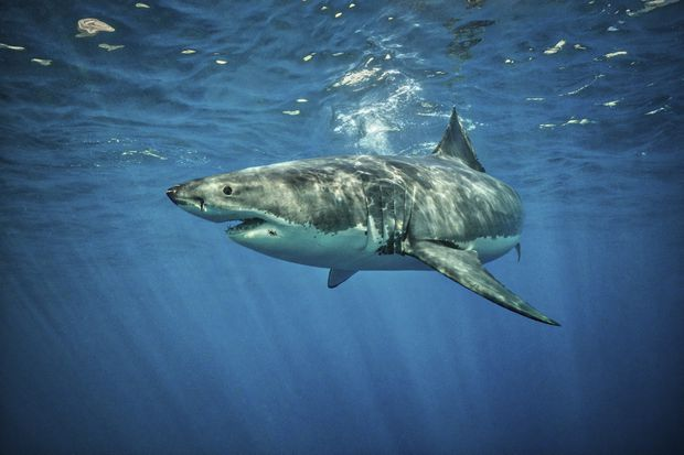 theglobeandmail.com - Researchers tag first great white shark in Atlantic Canada