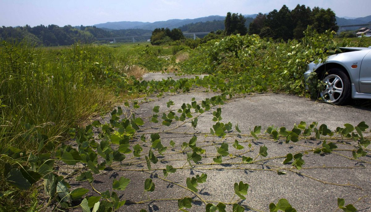 Vines grow across the road next to an abandoned car near the town of Naraha, inside the 20-kilometer exclusion zone around the Fukushima Daiichi nuclear plant July 16, 2011. A year after the Tsunami, cleanup has begun, but experts say areas inside the nuclear exclusion zone will be difficult to decontaminate.