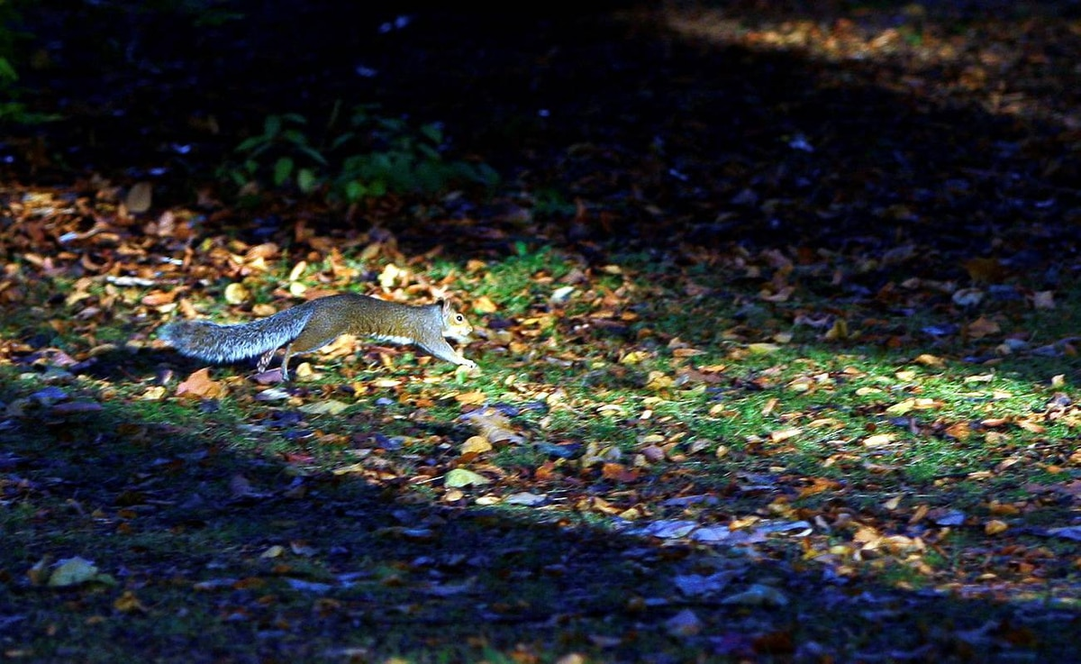 A squirrel runs through fallen leaves during early autumn in Loughborough, central England October 7, 2009.