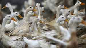In this photo taken Tuesday, Feb. 14, 2012, ducks walk around an area where a suspected outbreak of the H5N1 bird flu virus was reported, in Nhat Tan commune, Kim Bang district, Ha Nam province, Vietnam.
