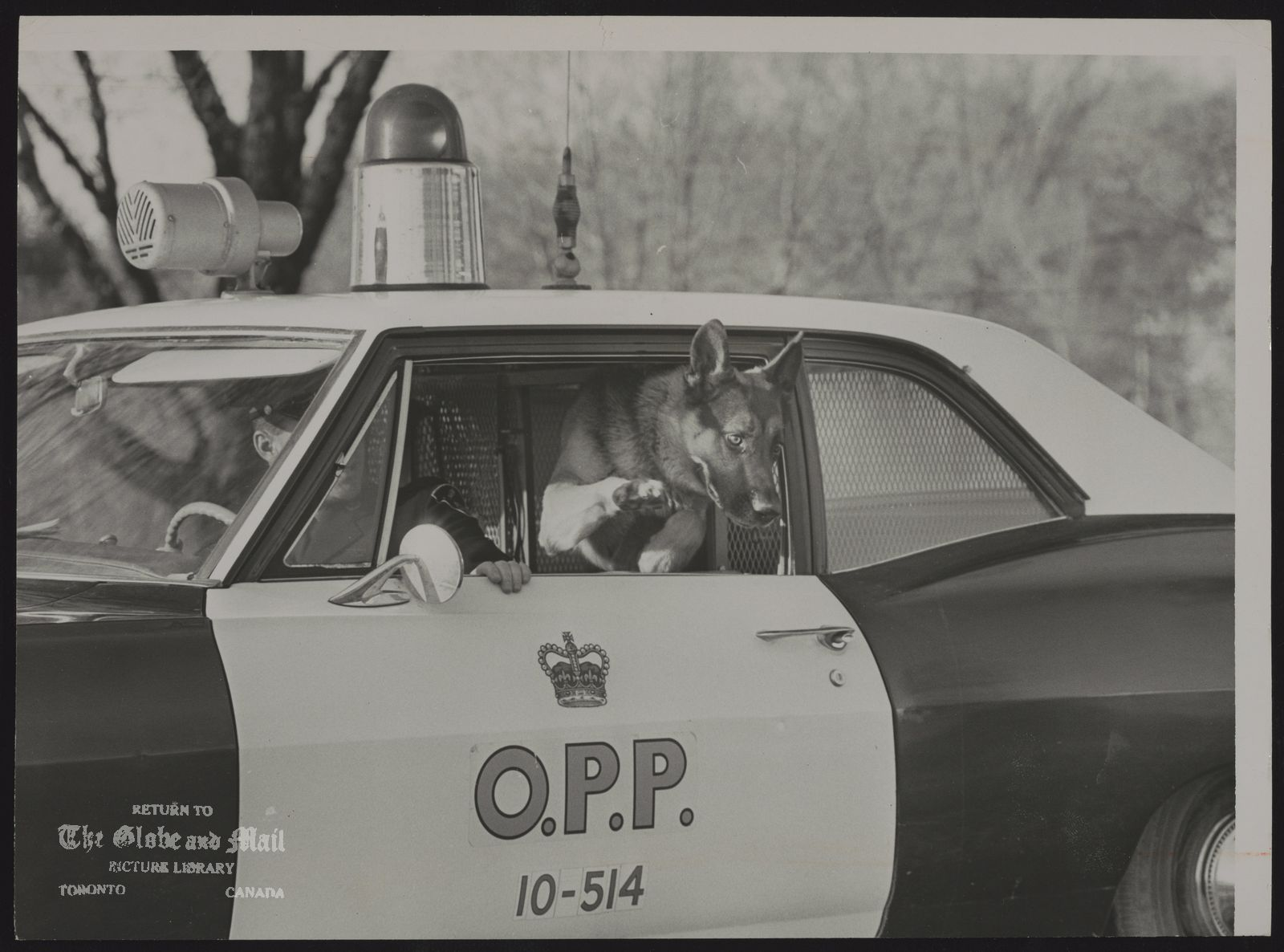 DOGS IN POLICE WORK MOUNT FOREST--The 97 pound German shepherd, its teeth bared, leaped through the open window of the provincial police cruiser and bounded after the man in the field.