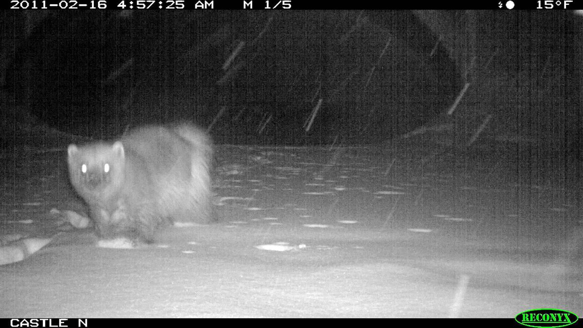 A wolverine caught in the hidden camera's flash at Castle underpass. Another wolverine was tracked on Nov. 16.