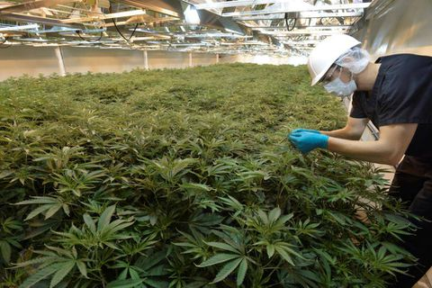 Court ruling could send private marijuana grow-ops up in smoke