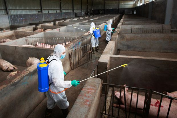 China's farm habits change in response to African swine fever that killed millions of pigs