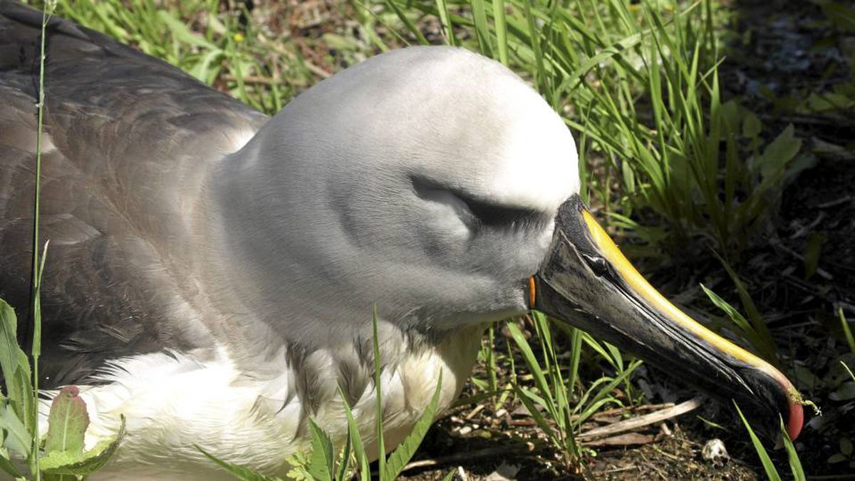 A yellow-nose albatross, the first of the species ever found in Ontario, is convalescing at Sandy Pines Wildlife Centre in Napanee.