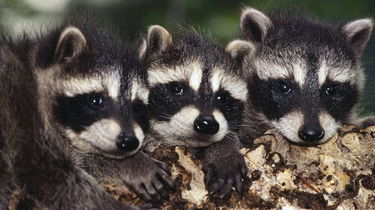 finding peace with the raccoons in our backyard the globe and mail