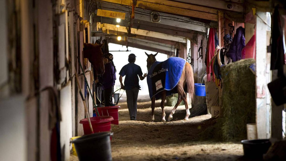 A racing horse is lead through the stables after an early morning ride at Hastings race track in Vancouver Aug. 24, 2011.