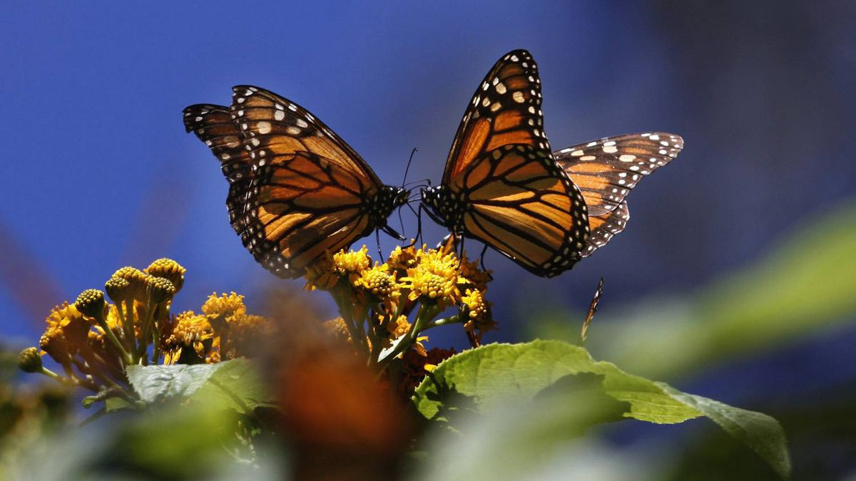 Monarch butterflies from Central and Eastern Canada travel up to 2,500 kilometres to Mexico in the fall and winter in dense, tree-covering colonies. Marco Ugarte/Associated Press