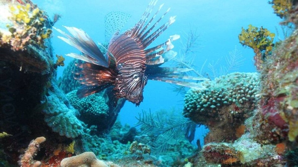 From Bob Minty, Sioux Lookout Ontario: The lion fish is an invasive species in the Caribbean that has no natural predators; look, don't touch. This is on the San Pedro reef in Belize in March of 2012.