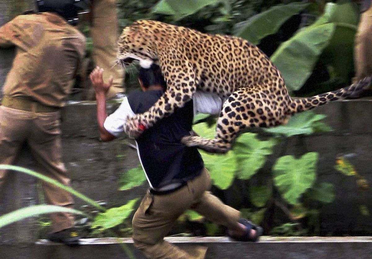 A leopard attacks a forest guard Tuesday at Prakash Nagar village on the outskirts of Siliguri, India. The leopard strayed into the village area and attacked several villagers before being caught. The leopard died later of injuries. The guard survived.
