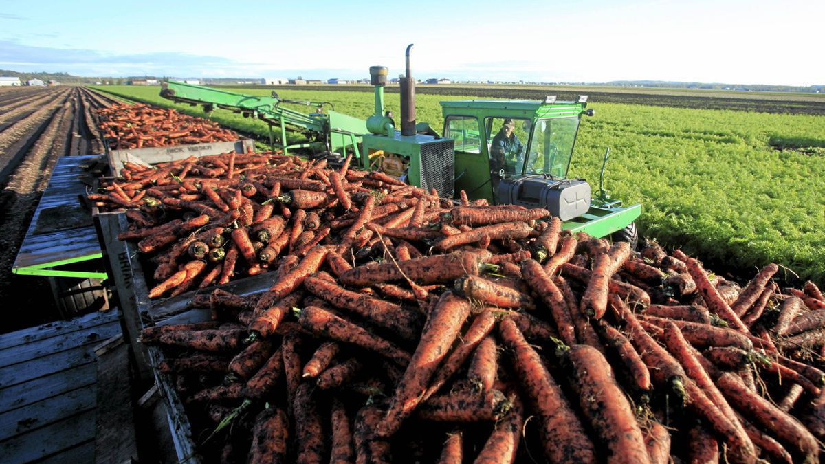 Jumbo carrots being harvested at the Visser Brothers Farm.