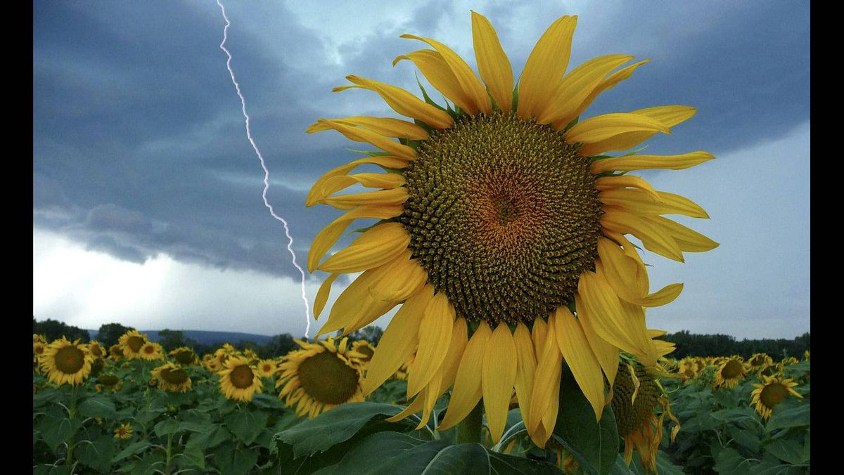 A sunflower field is seen in stormy weather near Donzere, southern France, August 5, 2011.