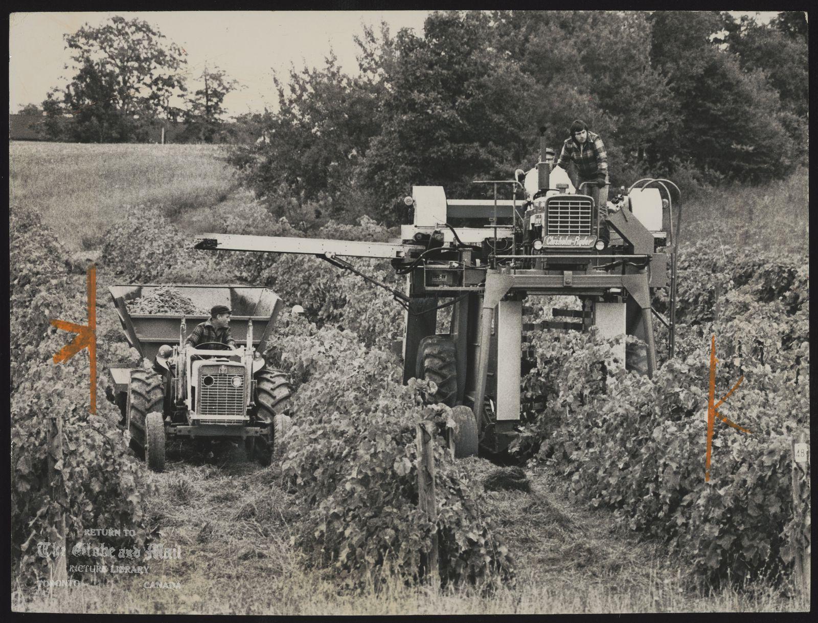 GRAPES Mechanical harvester brings in the grapes in Niagara vineyard