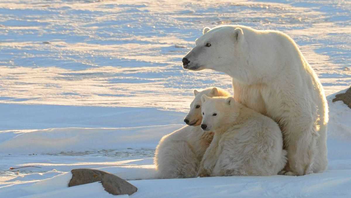 The debate over the polar-bear population has been raging for years, frequently pitting scientists against Inuit.