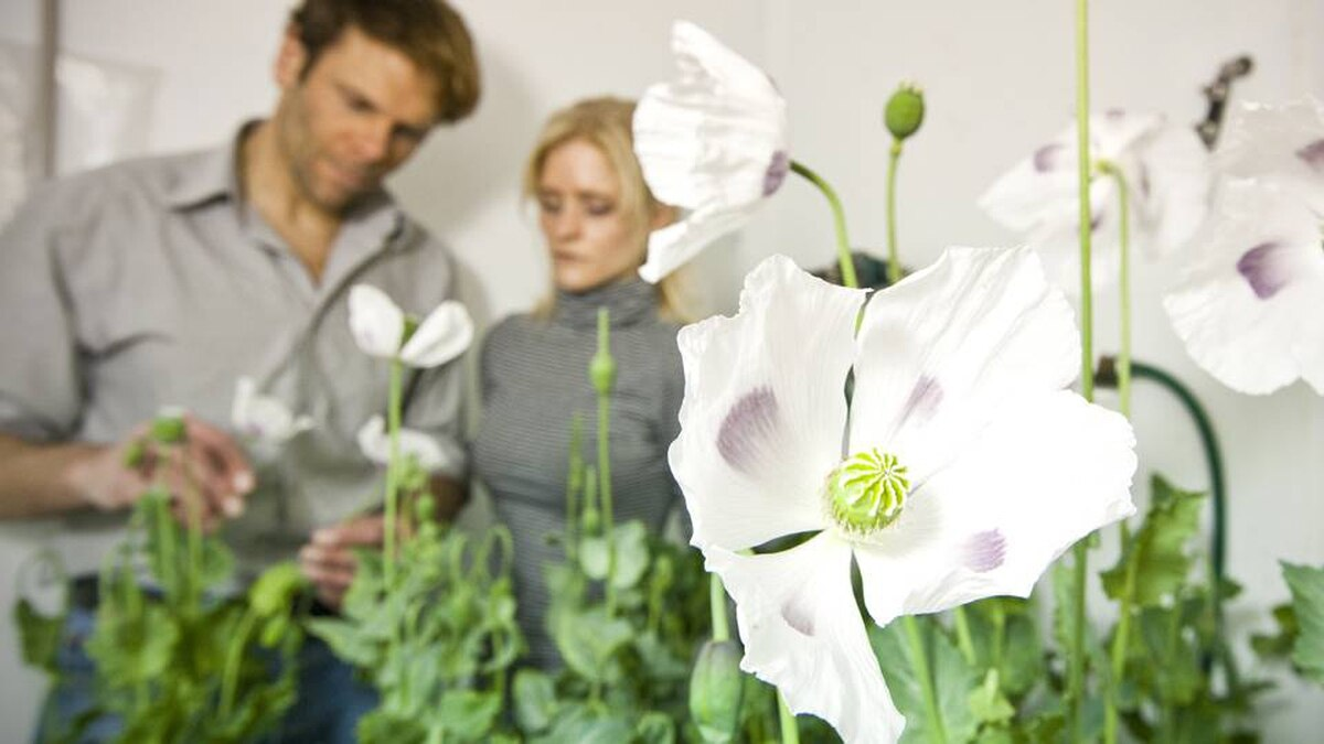 Dr. Peter Facchini, Ph.D. Professor in the Department of Biological Sciences at the University of Calgary and Dr. Jillian Hagel inspect the growth of poppies in the greenhouse. Dr. Hagel has discovered two unique genes that allow the opium poppy to make morphine and codeine.