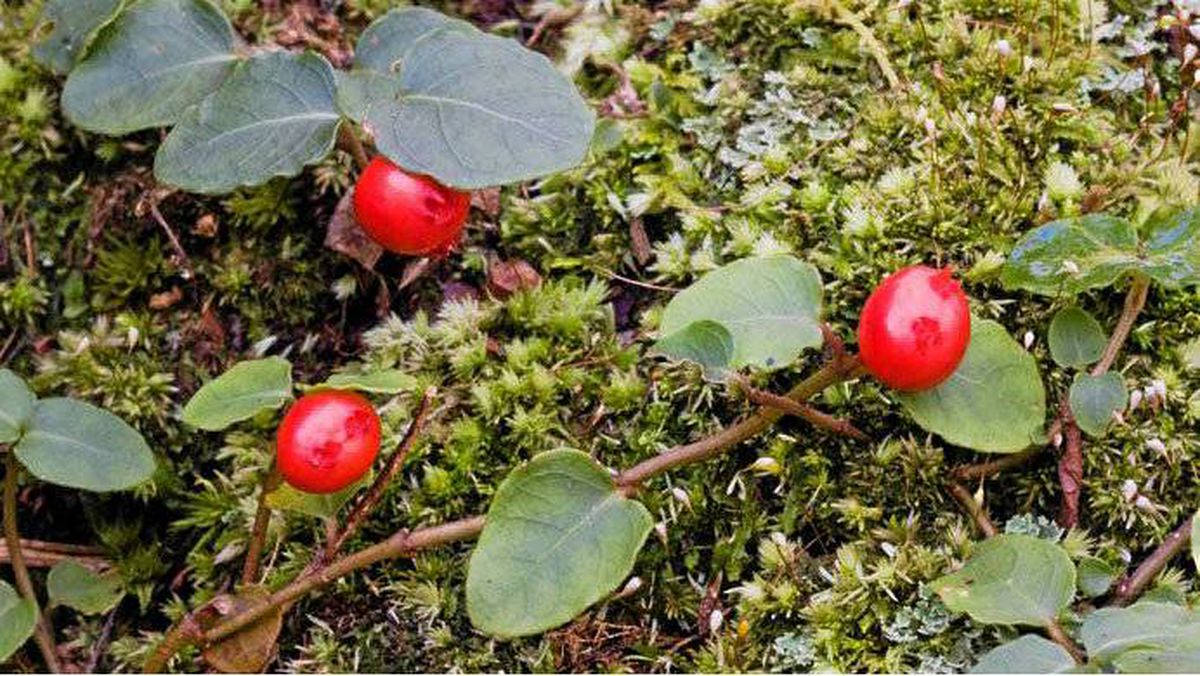 Partridgeberries in Weymouth Woods-Sandhills Nature Preserve, Southern Pines, North Carolina
