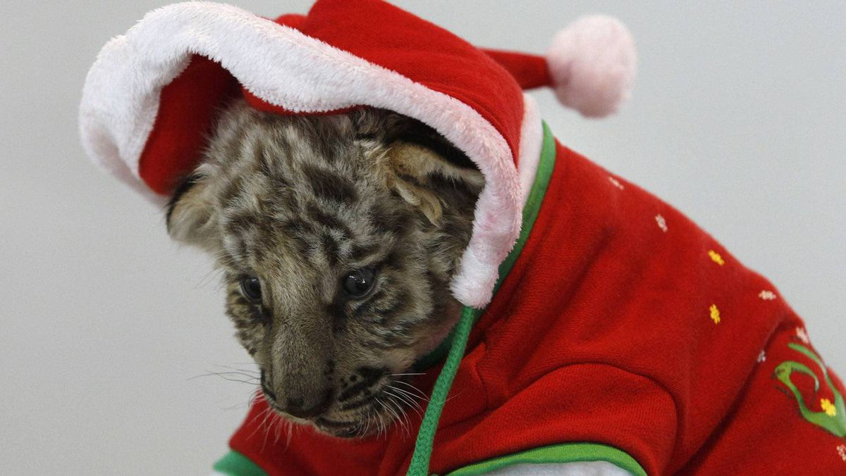 A tiger cub dressed as Santa Claus is seen on Christmas Eve at the Sriracha Tiger Zoo in Thailand's Chonburi province.