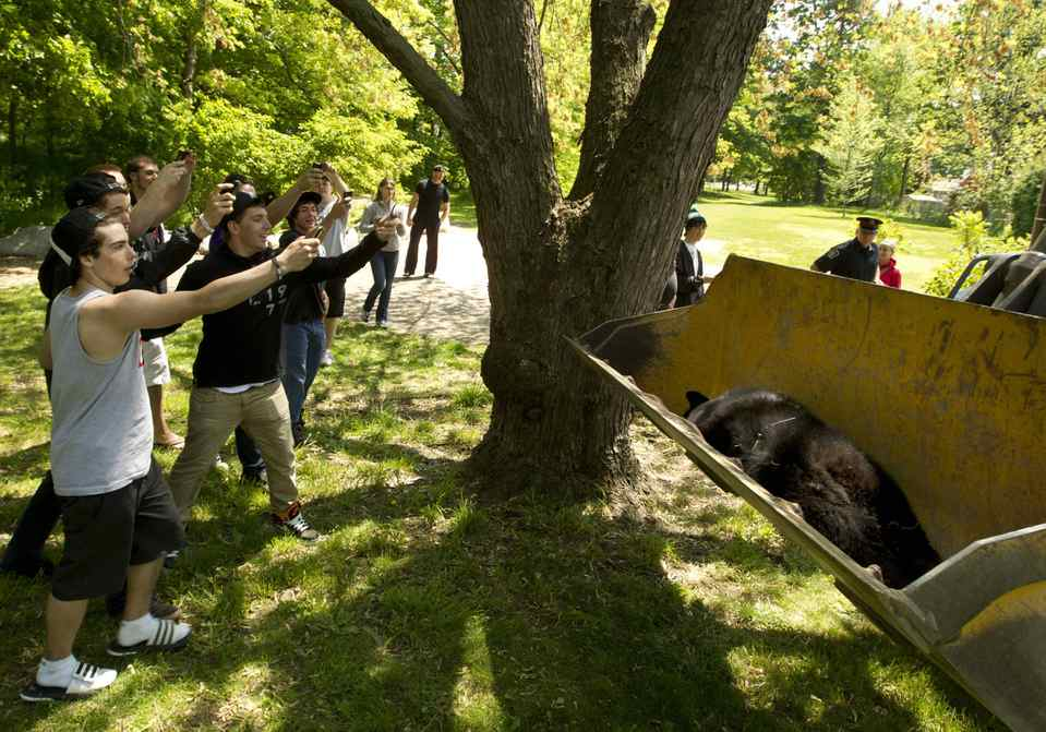 A male bear lies dead, and is removed by the City of Burlington, after Halton Regional Police were forced to shoot the animal in Mountainside Park in the heart of a residential area in Burlington.