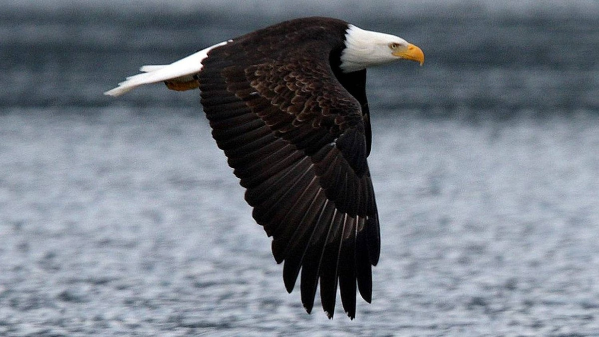 A mature bald eagle takes flight during the Fraser Valley Bald Eagle Festival in the Chehalis Estuary near Harrison Mills, BC, November 21, 2009.