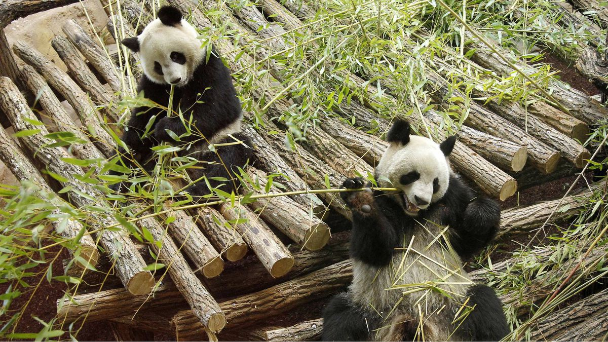 Yuan Zi , right, and Huan Huan relax inside their enclosure at the ZooParc de Beauval in Saint-Aignan, France, Jan 17. The pair of giant pandas which have been loaned to the zoo by China, will be on public view for the first time on Feb. 11.