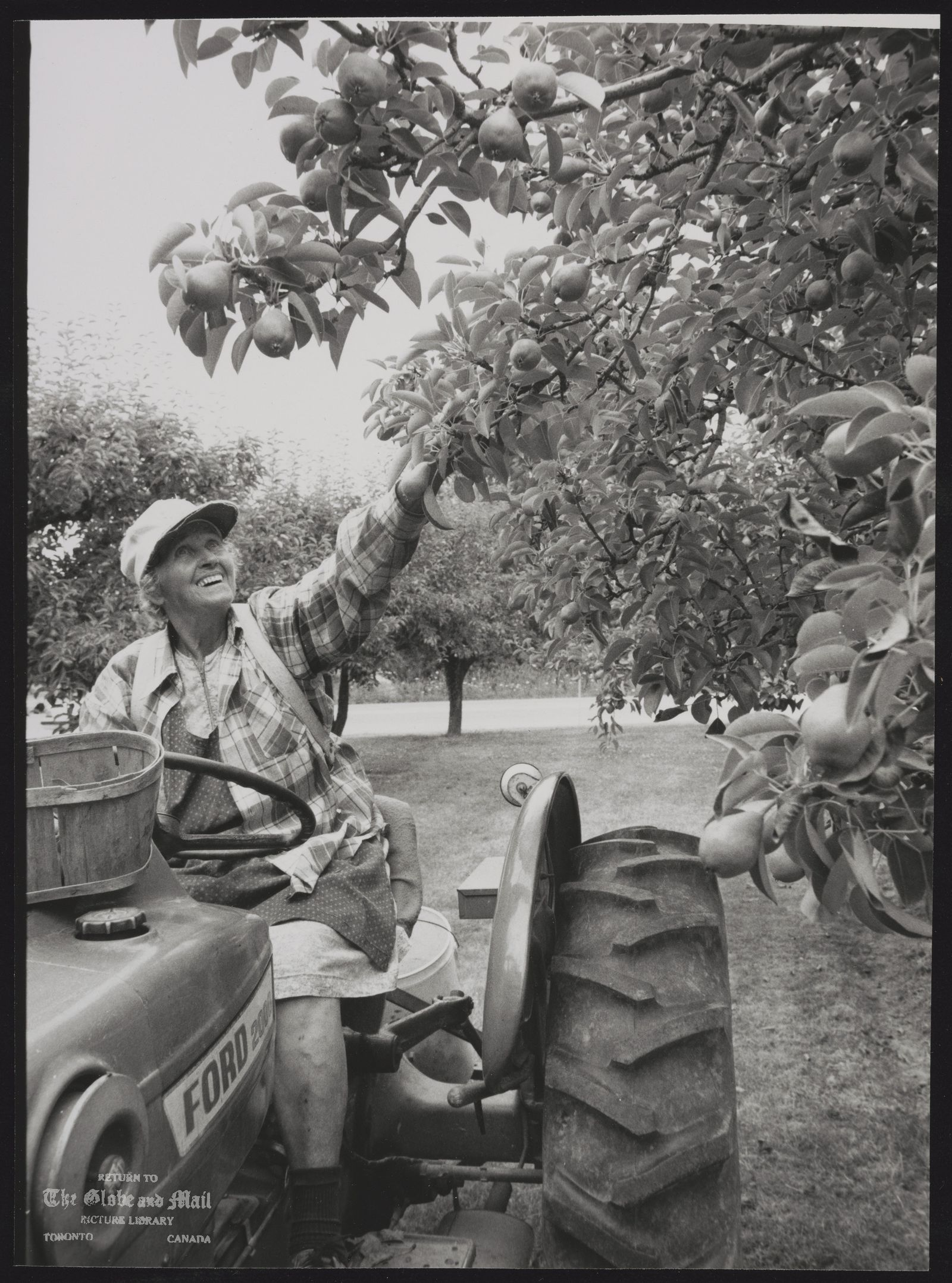 The notes transcribed from the back of this photograph are as follows: Mrs. Josephine Inc thinning pears on her farm in St. Catherines. The pear season is around Labour Day.