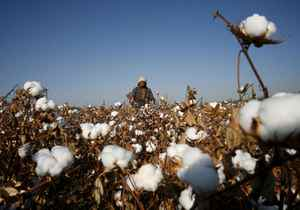 A farmer picks cotton on a farm on the outskirts of Hami