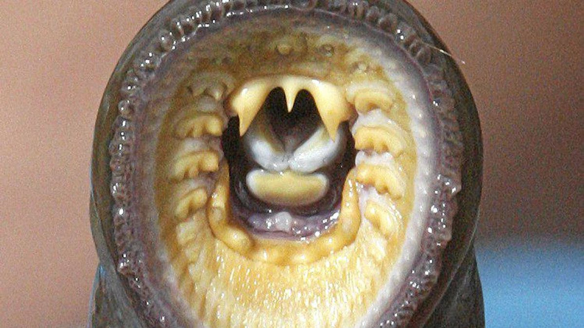 Lampreys are parasites, feeding off larger sea creatures such as sharks, whales and sea lions, which they latch onto with a ring of sucking teeth.