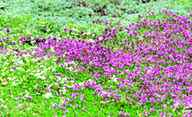 Grow several varieties of creeping thyme together as a drought tolerant lawn alternative.