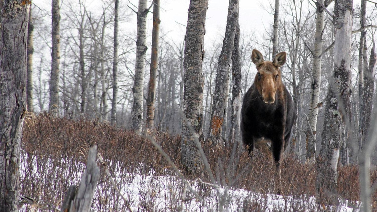 "Reader Chris Sargent photographed this moose in Elk Island National Park in Alberta. He writes: ""During the hike, I had close encounters with moose, elk, bison and deer, yet did not once see another person. I'm grateful to have a place like Elk Island so close to home."""
