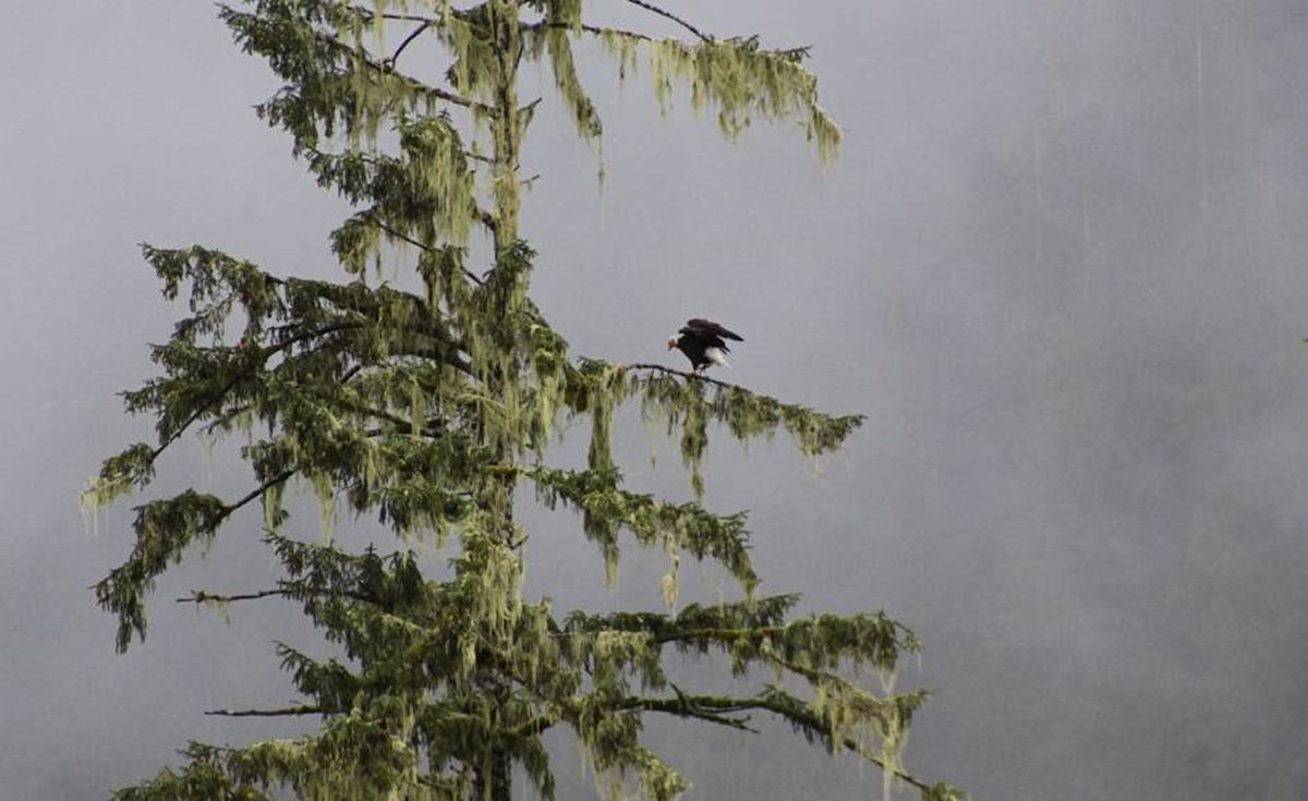 An eagle airing its wings high in a tree.