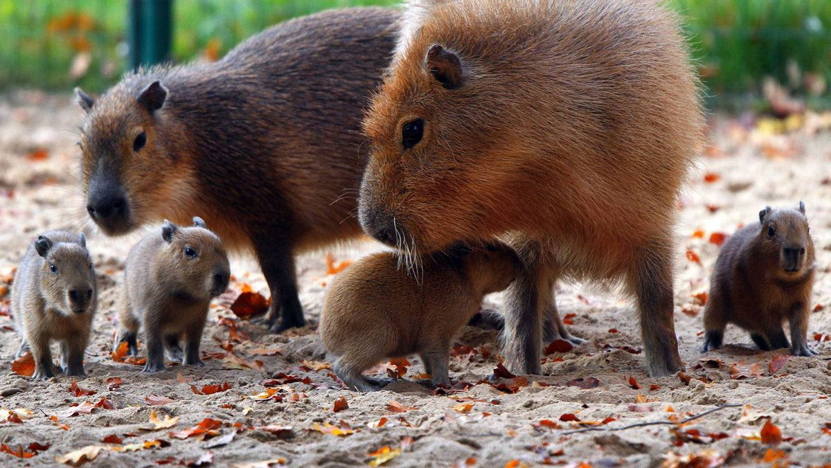 Four baby capybaras are accompanied by their mother as they explore their enclosure in Schwerin, northeastern Germany.