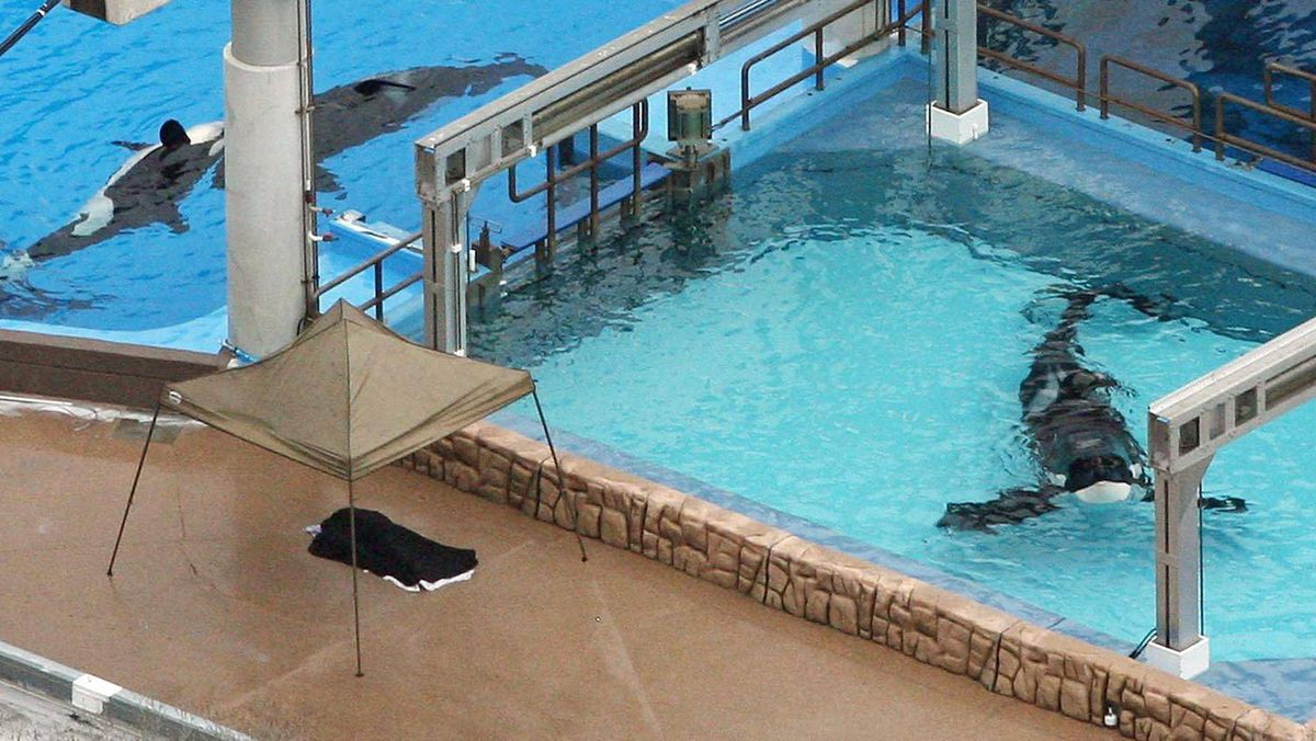 Three orcas at SeaWorld in Orlando, Fla., on Wed., Feb. 24. The marine park was the scene of a fatal orca attack on Wednesday.