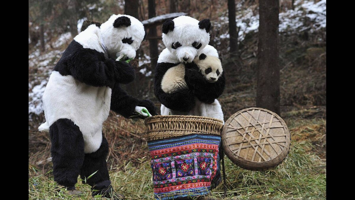 Researchers dressed in panda costumes put a panda cub into a basket before transferring it to a new living environment at the Hetaoping Research and Conservation Center for the Giant Panda in Wolong National Nature Reserve, Sichuan province February 20, 2011. Researchers wear panda costumes to ensure that the cub's environment is devoid of human influence, according to local media.