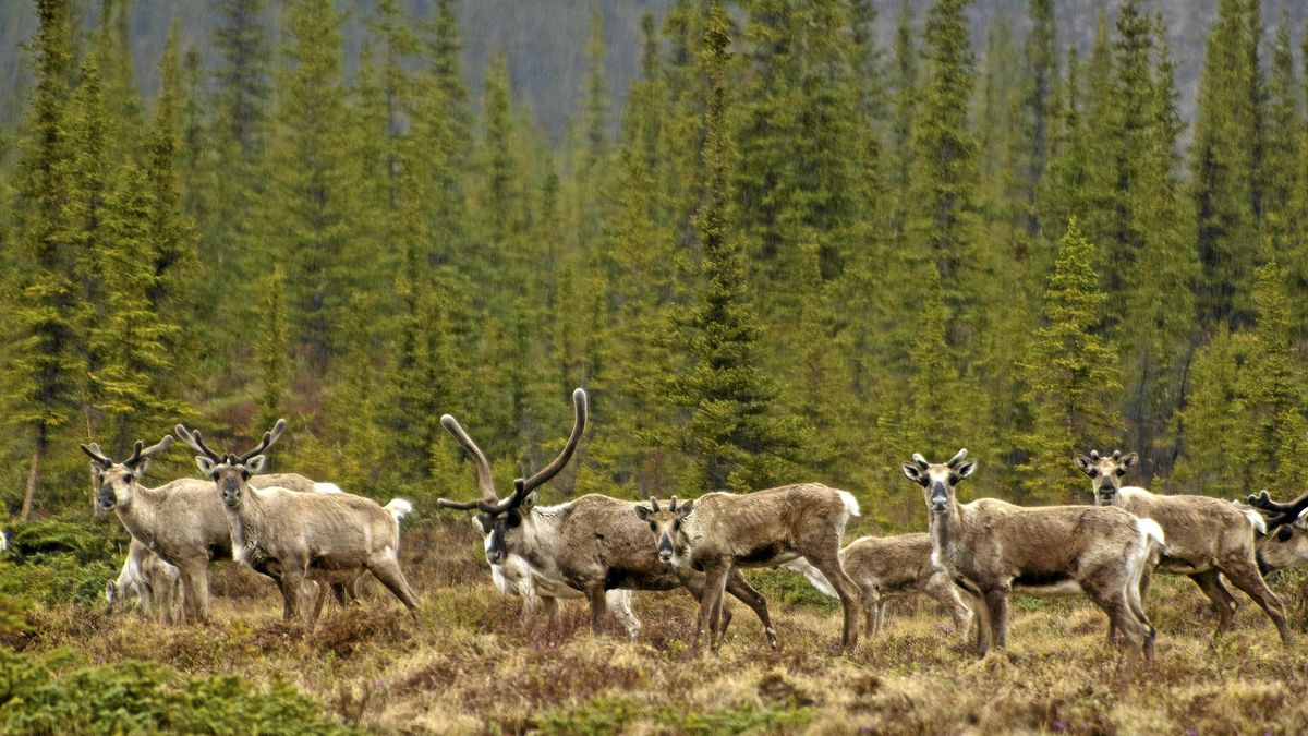 Hillsides are dotted with thousands of Porcupine caribou and calves returning from the Beaufort Sea, where food is plentiful. The caribou migrate 2,500 km each year between the Yukon and Alaska's Arctic National Wildlife Refuge - the longest land migration route of any land mammal.