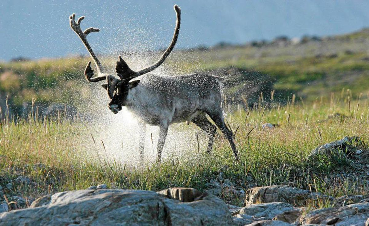 Mountain caribou are a common sight in the Torngats.