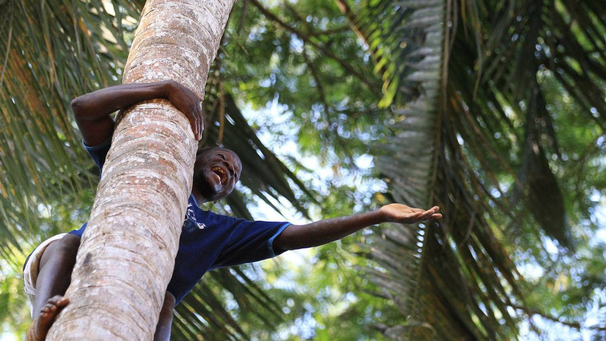 A man climb a coconut tree at Kizimbani Spice Plantation in Zanzibar,