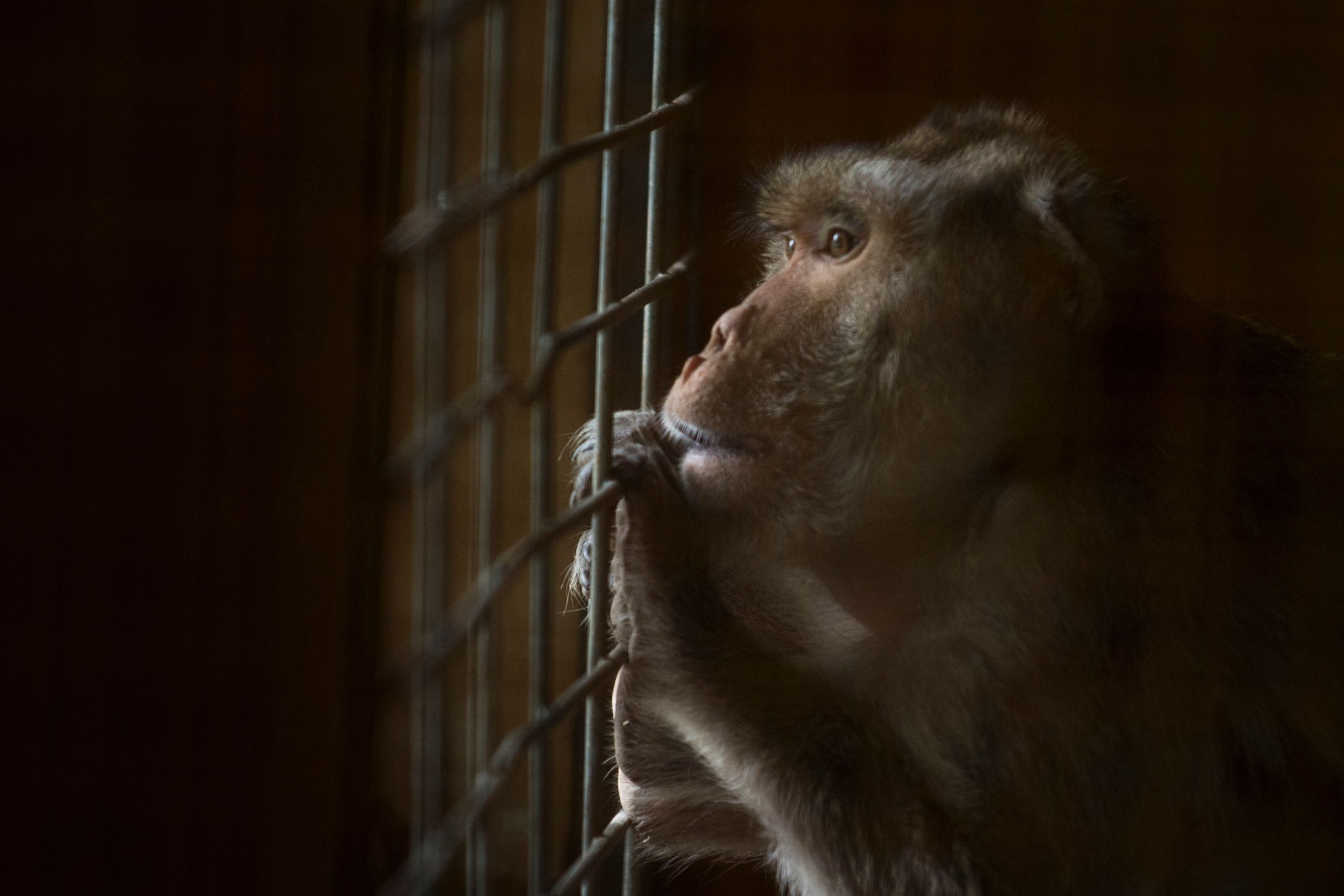 Given a stay of execution, three lab monkeys face a new experiment