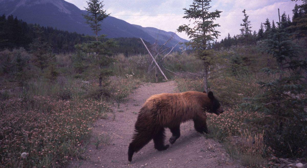 A black bear on a wildlife overpass.