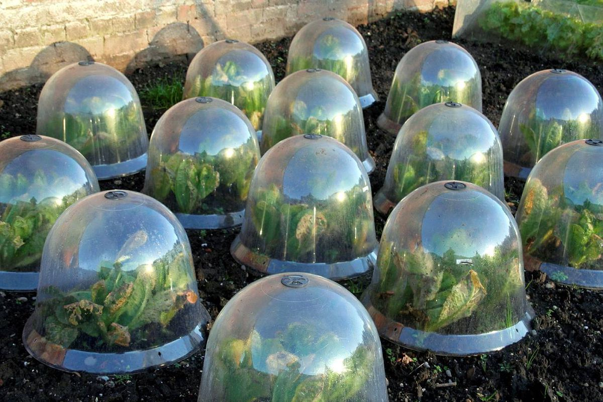 Fancy cloches are an attractive but expensive way to protect frost-sensitive veggies. You can also make your own by cutting the bottoms off plastic water bottles.
