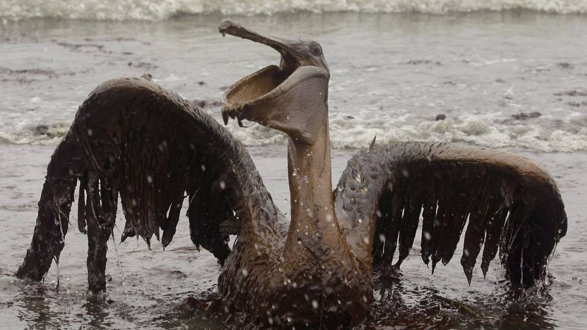 A brown pelican is seen on the beach at East Grand Terre Island along the Louisiana coast on Thursday, June 3, 2010. Oil from the Deepwater Horizon has affected wildlife throughout the Gulf of Mexico.
