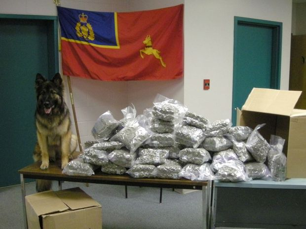 8f20ad893a60 RCMP police dog Tessy poses next to seized marijuana in an RCMP handout  photo. There are a number of police dogs across the country who will be out  of a job ...