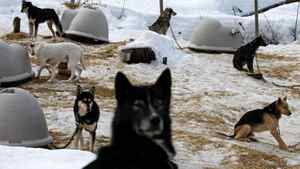 Sled dogs rest at a kennel operated by Whistler Outdoor Adventures near Whistler, B.C., on Saturday February 5, 2011.