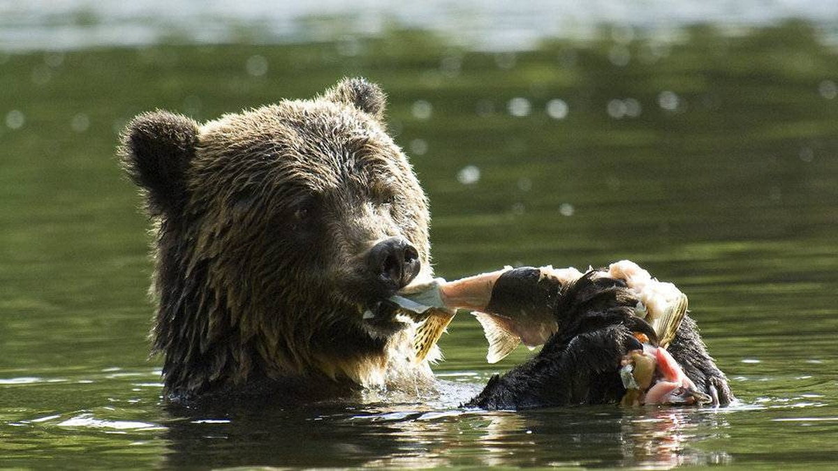 To increase your odds of seeing a grizzly bear in B.C., check out the more than 40 bear-viewing operations in the province.