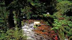 Shots are from great bear rainforest in BC. Credit: Ian McAllister