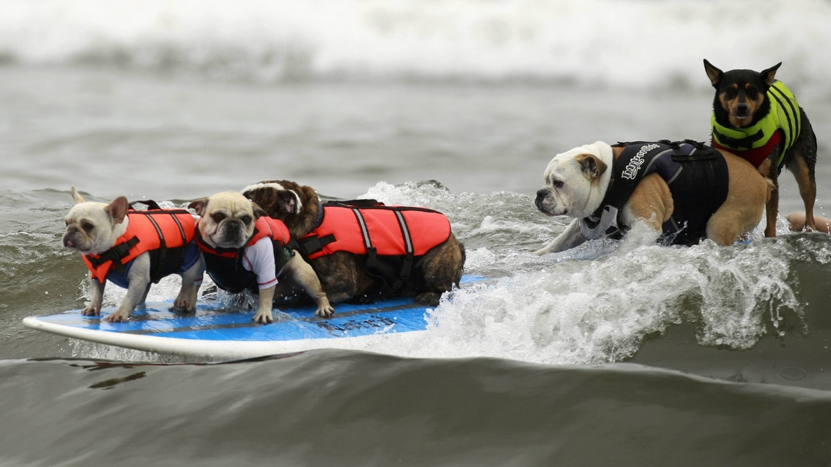 Five dogs ride a surfboard at a surf dog contest in Huntington Beach, California September 25, 2011.