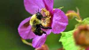 A bumblebee pollinates a flower.